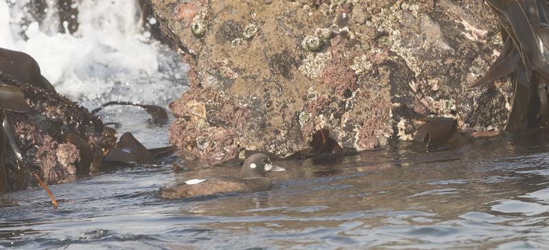 Harlequin Duck Cannon Beach Oregon 2017 08 22-6.CR2