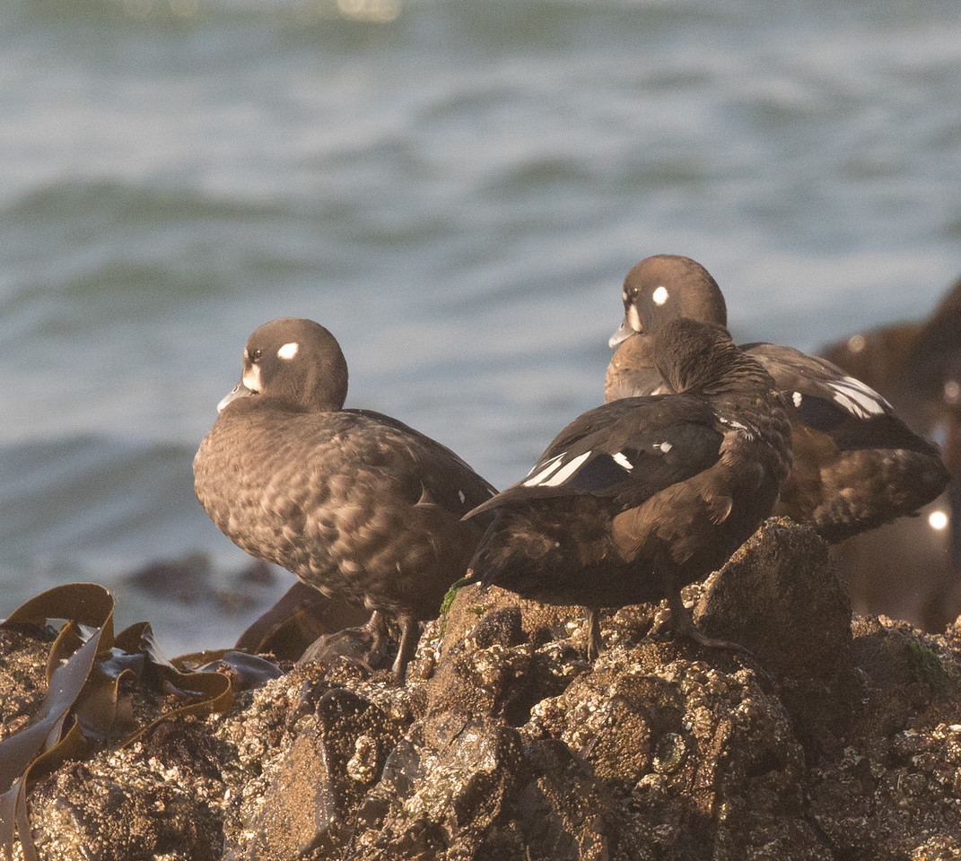 Harlequin Duck Cannon Beach Oregon 2017 08 22-1.CR2