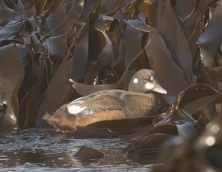 Harlequin Duck Cannon Beach Oregon 2017 08 22-4.CR2