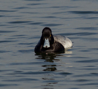 Lesser Scaup  Bolsa Chica  2012 01 17 (2 of 9)-2.CR2