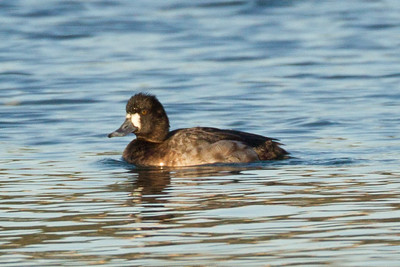Lesser Scaup  Batiquitos  2013 02 24 (1 of 1).CR2-1.CR2