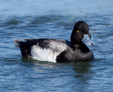 Lesser Scaup Famosa Slough 2014 04 01-2.CR2