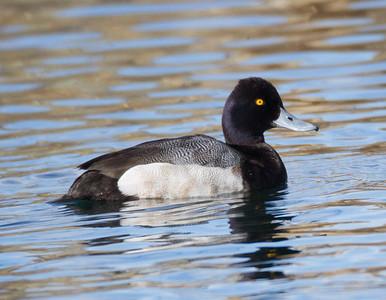 Lesser Scaup  Crowley Lake area  2015 02 19-2.CR2