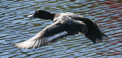 Lesser Scaup Aviara 2014 12 27-1.JPG