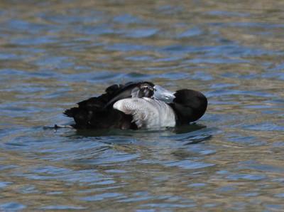 Lesser Scaup San Luis Rey Oceanside 2012 01 04.JPG