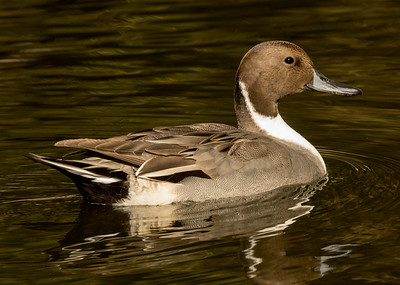 Northern Pintail  San Diego Wild Animal Park  2016 11 12-2.CR2