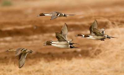 Northern Pintail  Cibola NWR 2014 01 31-1.CR2