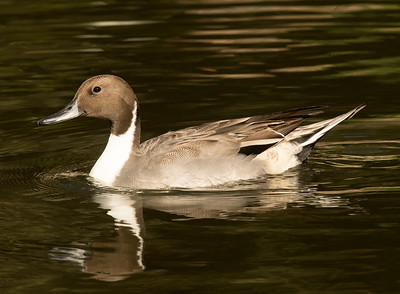 Northern Pintail  San Diego Wild Animal Park  2016 11 12-3.CR2