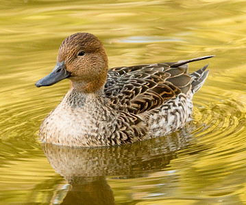 Northern Pintail  San Diego Wild Animal Park  2016 11 12-1.CR2