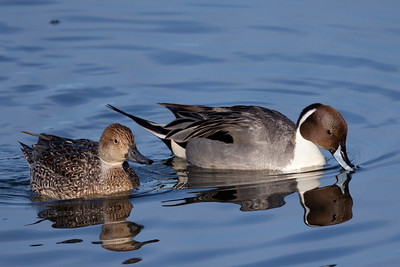Northern Pintail San Diego River 2011 01 26-6.CR2