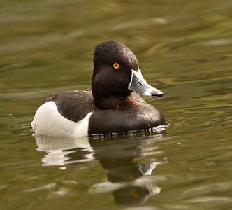Ringed-necked Duck  Safari Park Escondido 2014 04 `8-6.CR2