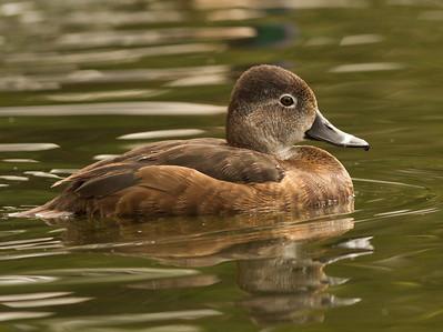 Ringed-necked Duck  Safari Park Escondido 2014 04 `8-3.CR2