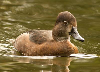 Ringed-necked Duck  Safari Park Escondido 2014 04 `8-2.CR2