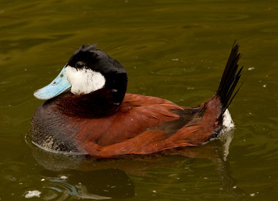 Ruddy Duck   Safari Park Escondido 2014 03 07-2.CR2