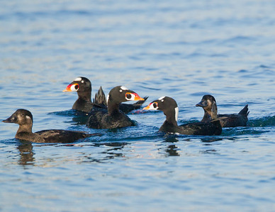 Surf Scoter Long Beach 2012 01 17 (3 of 10)-2.CR2