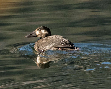 Surf Scoter Twin Lakes Mono County 2016 11 02-1.jpg