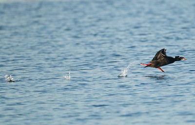 Surf Scoter Long Beach 2012 01 17 (6 of 10)-2.CR2