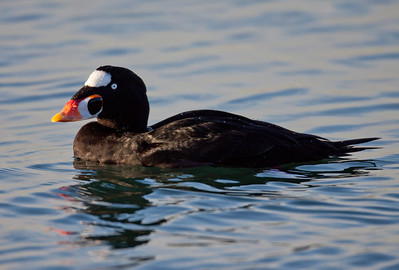Surf Scoter Long Beach Harbor 2010 01 06-5.CR2