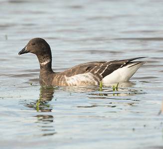 Brant Goose  Mission Bay 2016 12 13-1.CR2