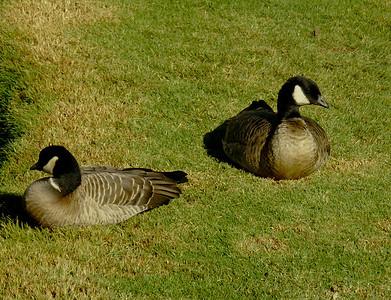 Cackling Goose  Libby Park Oceanside 2008 11 08-1-1.JPG