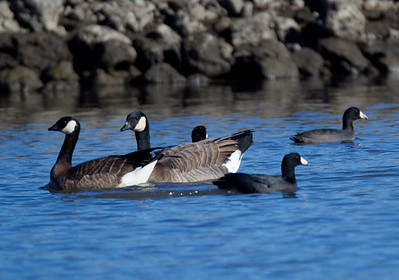 Cackling Geese  Camp Pendleton 2012 11 23 (2 of 6).CR2
