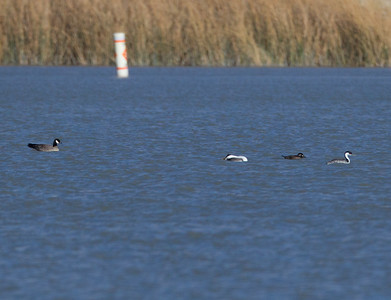 Cackling Goose Surf Scoter Western Grebe Diaz Lake 2016 10 31-2.CR2