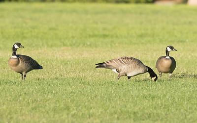Cackling Geese  Aviara 2016 11 11-1-2.CR2