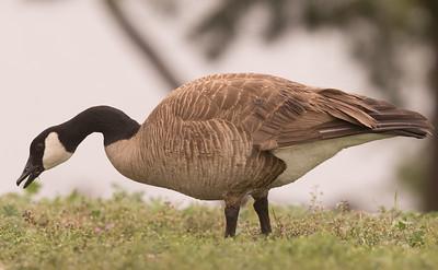 Canada Goose Guajomi Regional Park 2016 03 20-1.CR2