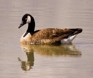 Canada Goose  Owens Lake 2009 06 22 (1 of 2).JPG