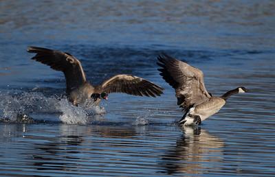 Canada Goose Bridgeport 2018 04 01-1-2.CR2
