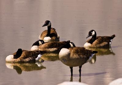 Canada Goose  Owens Lake 2009 06 22 (2 of 2).JPG