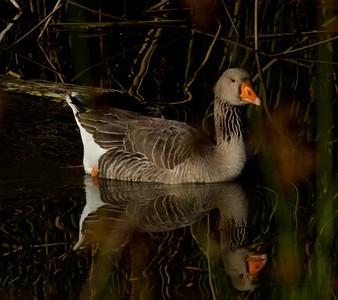 Graylag Goose Carlsbad 2011 12 21 (1 of 3).CR2