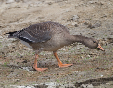 Greater White-fronted Goose Lake Oneil Camp Pendleton 2016 10 16-2.CR2