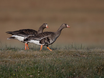 Greater White-fronted Goose Bridgeport 2010 10 27-6.CR2