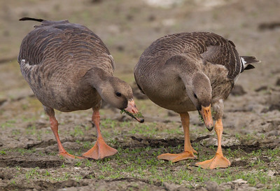 Greater White-fronted Goose Lake Oneil Camp Pendleton 2016 10 16-5.CR2