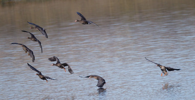 Greater White-fronted Geese  Alkali Ponds near Crowley Lake 2017 09 22-1.CR2
