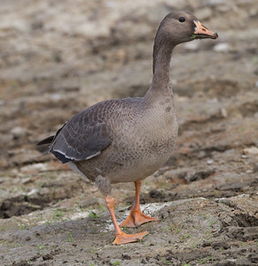 Greater White-fronted Goose Lake Oneil Camp Pendleton 2016 10 16-3.CR2