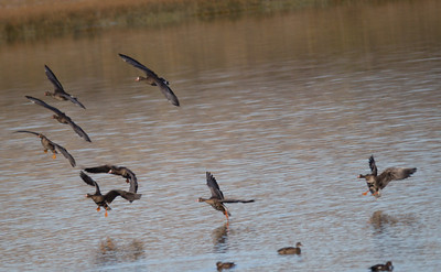 Greater White-fronted Geese  Alkali Ponds near Crowley Lake 2017 09 22-2.CR2