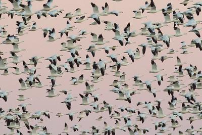 Ross`s Goose Salton Sea 2016 02 07-1.CR2-1.CR2