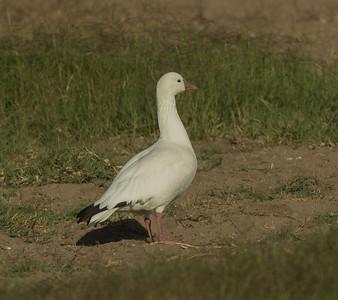 Ross`s  Goose Del Mar 2016 11 17-1 - Copy.jpg