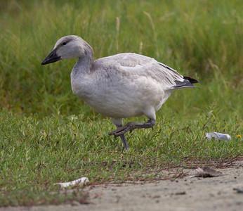 Snow Goose San Luis Rey Oceanside 2014 11 01-2.CR2