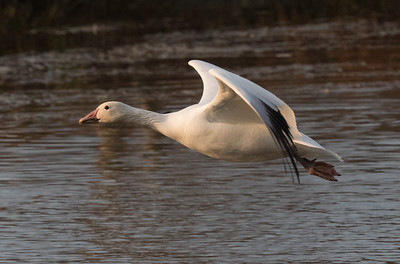 Snow Goose Mammoth Lakes 2020 11 03-1.CR2