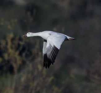 Snow Goose Ramona Grasslands 2015 02 06-2.CR2