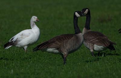 Snow Goose Oceanside 2015 01 27-5.CR2