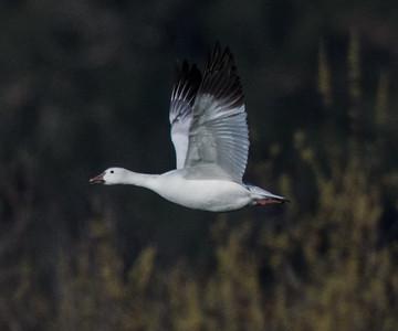 Snow Goose Ramona Grasslands 2015 02 06-3.CR2
