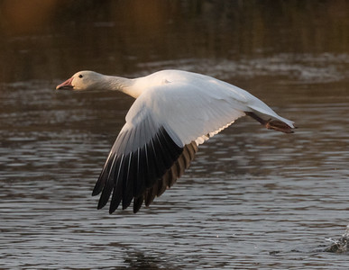 Snow Goose Mammoth Lakes 2020 11 03-3.CR2