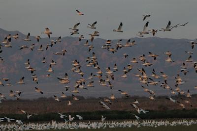 Snow Geese Salton Sea 2014 01 28-3.JPG