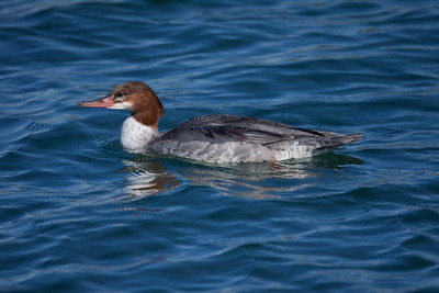 Common Merganser  Oceanside Ca 2011 1 13-1.CR2