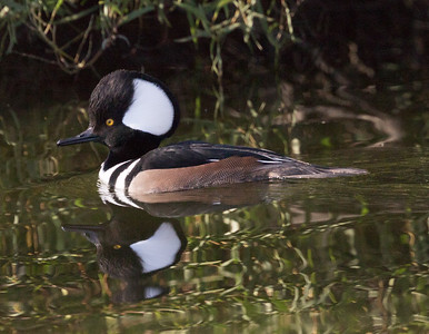 Hooded Merganser Aviara 2015 12 27-2.CR2