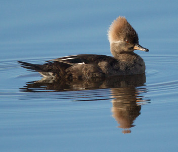 Hooded Merganser San Elijo Lagoon 2014 03 03-4.CR2